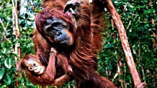 Orangutan, memiliki 97% kemiripan genetika dengan manusia