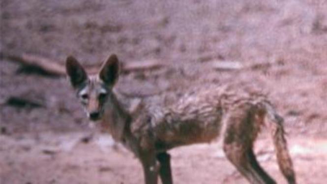 Grey Wolf, satu-satunya spesies serigala abu-abu dari Afrika