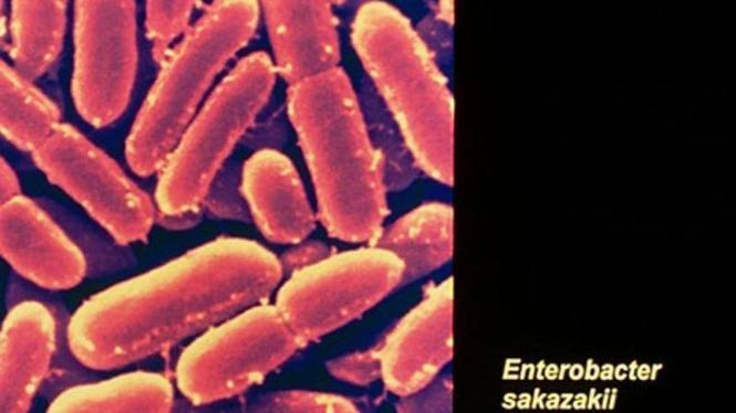 Bakteri Enterobacter Sakazakii