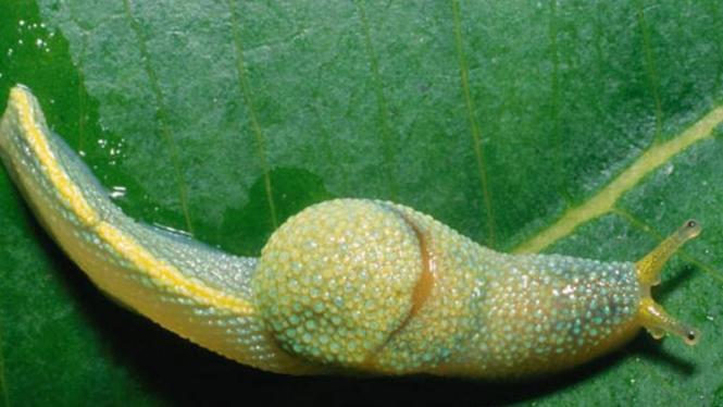 Spesies unik di Kalimantan, Siput Ninja