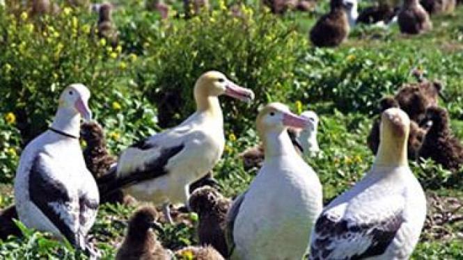 Albatros yang tinggal di Midway Atoll sebelum dilanda tsunami