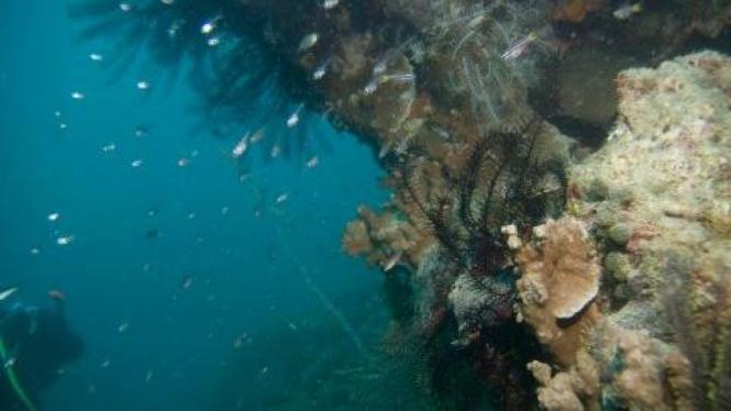 terumbu karang di laut Kepulauan Seribu, Jakarta