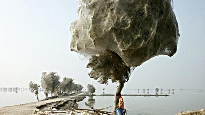 Pohon di dekat daerah Karachi diselubungi oleh sarang laba-laba