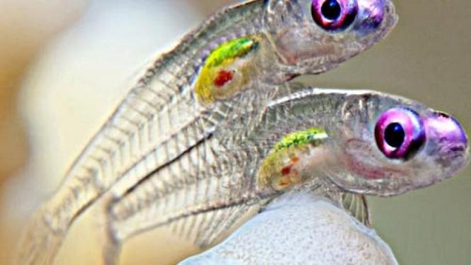 Ikan Gobi transparan