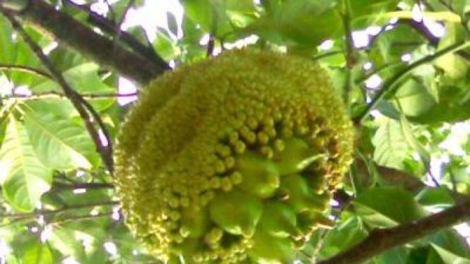 Nangka berbuah pisang di Bekasi Timur