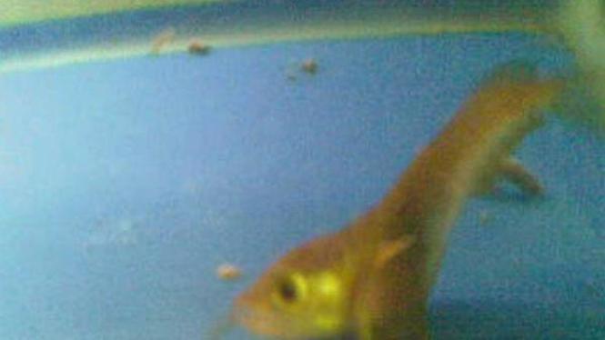 Ikan Arwana berkepala dua