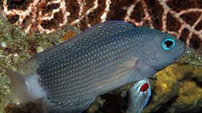 Spesies ikan baru yang ditemukan di Bali