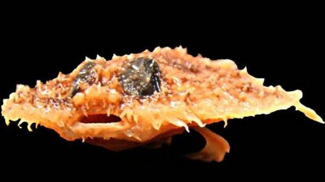 Ikan Pancake Batfish