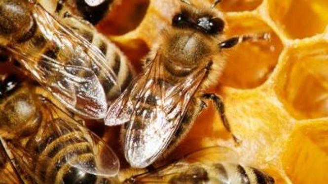 Ilustrasi lebah.