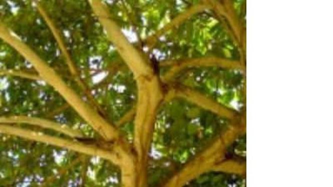 Pohon Talok atau Keres
