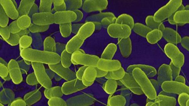 Bakteri Ecoli di bawah mikroskop.