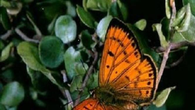 Kupu-kupu Copper Butterfly (Lycaena phlaeas)