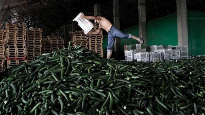 Petani di Romania mengumpulkan mentimun yang tidak laku dijual