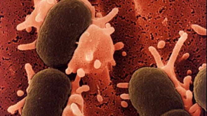 Bakteri E Coli di bawah mikroskop