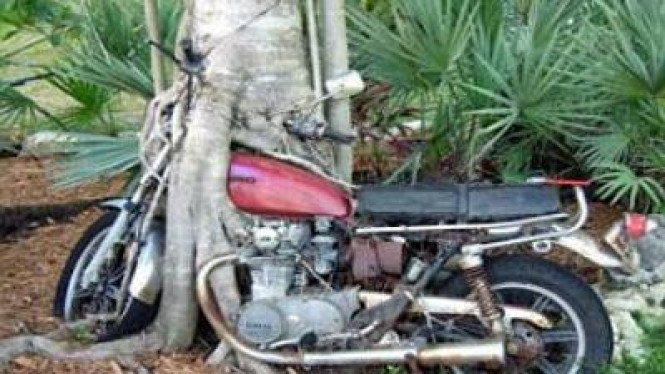 Pohon Lapar