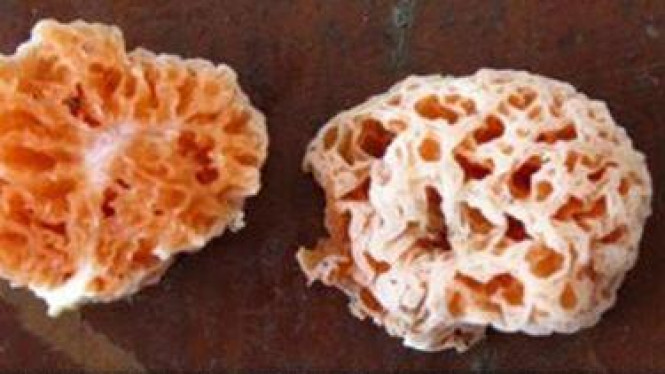 <i>Spongiforma squarepantsii</i>, Jamur mirip SpongeBob SquarePants