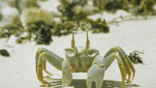 Salah satu spesies kepiting di Cocos Island, Costa Rica