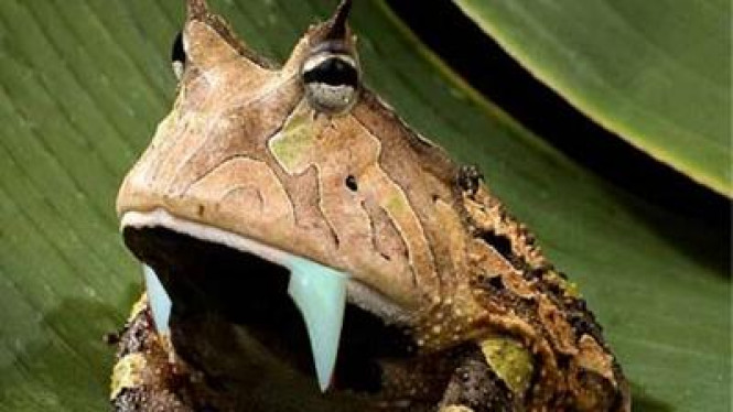 Kodok bertaring, salah satu spesies hewan yang ditemukan di New Guinea