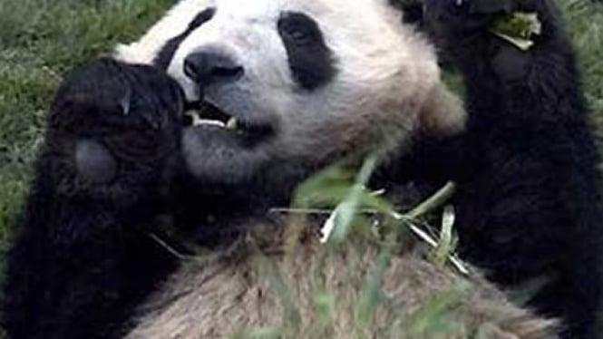 Panda raksasa China.