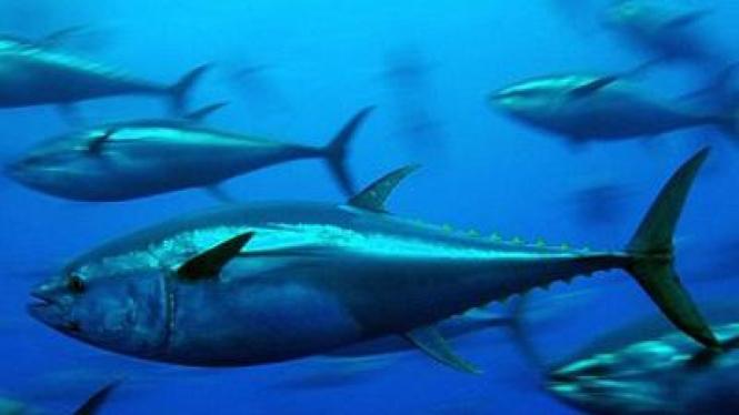 Tuna sirip biru, ikan favorit yang terancam punah