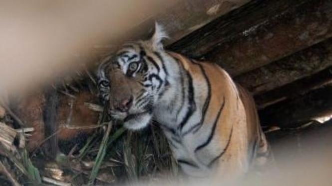 Harimau Sumatera (panthera tigris sumatrae) di Desa Tarok, Padang Pariaman