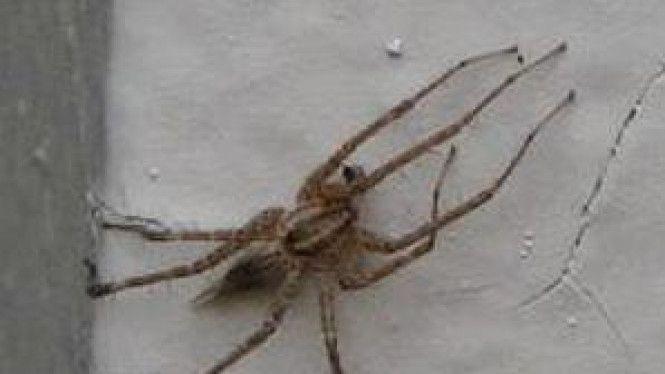 Brazilian Wander Spider, salah satu spesies laba-laba paling berbahaya