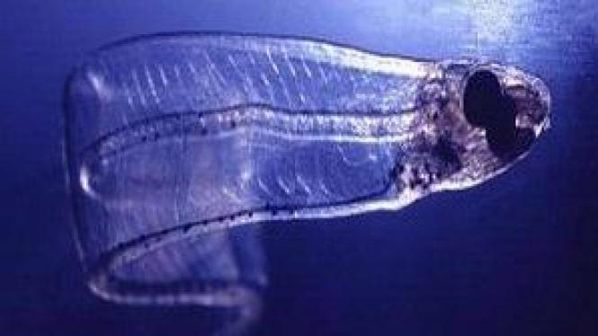 Belut Larva Bali