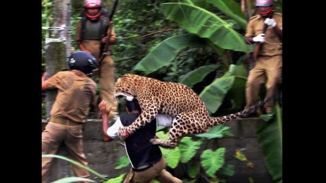 Macan tutul serang penjaga hutan