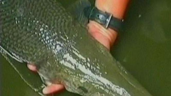Ikan Berkepala Buaya