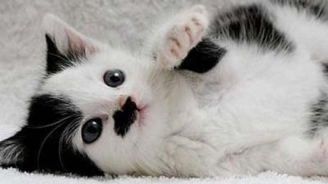 Kucing 'berwajah' Hitler