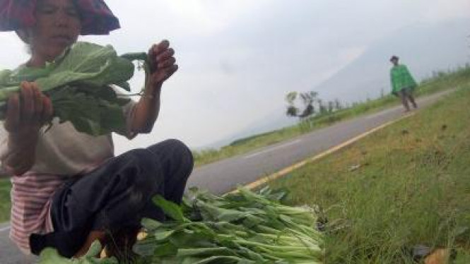 Petani membersihkan sawi dilatari Gunung Marapi di Padangpanjang