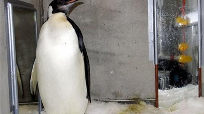Happy Feet, penguin nyasar dilepas kembali ke alam liar.