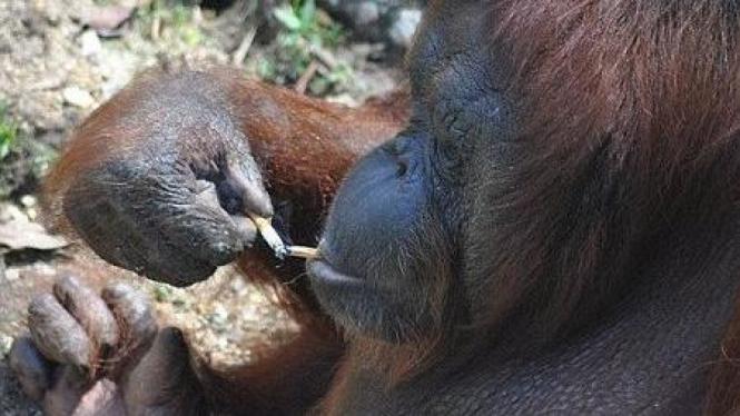 Orangutan Shirley 1