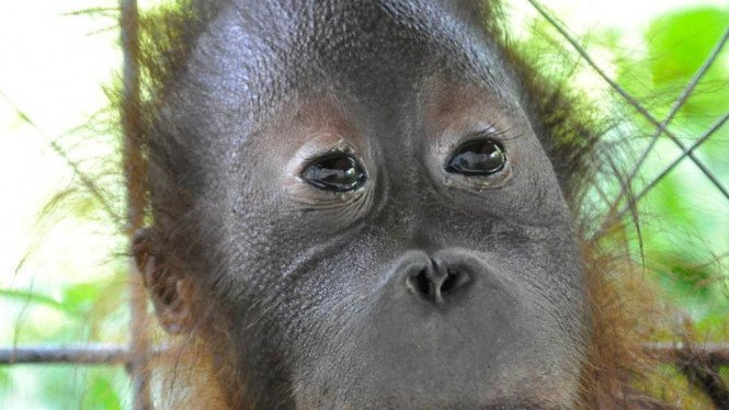 Jimmy, Orangutan penderita down syndrome