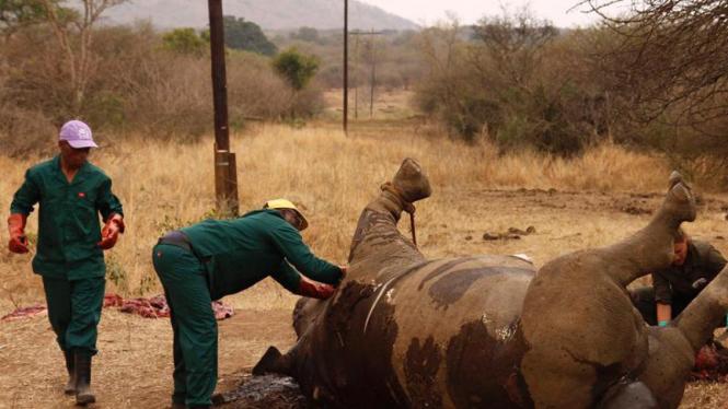 Perburuan badak di Afrika Selatan