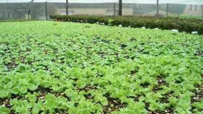 Pertanian Selada