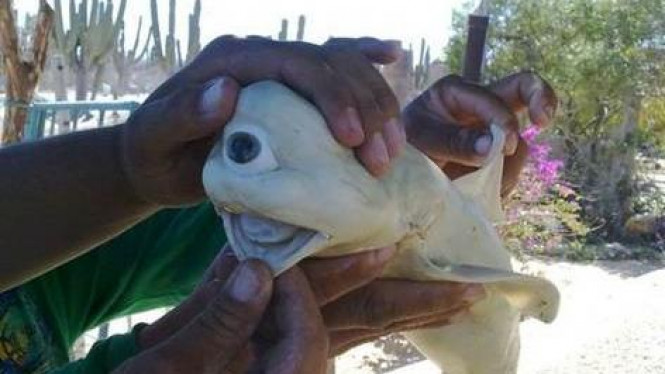 Anak hiu bermata satu