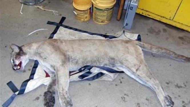 Singa gunung mati ditembak di AS