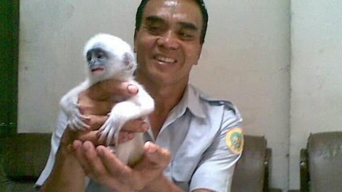 Surili yang lahir di kebun binatang  Bandung