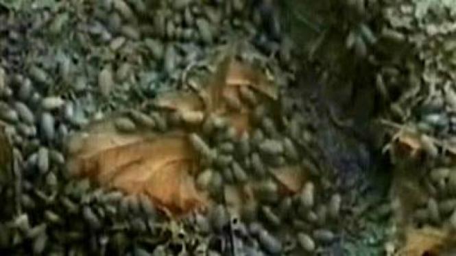 Ribuan Serangga Serang Desa di Gunung Kidul