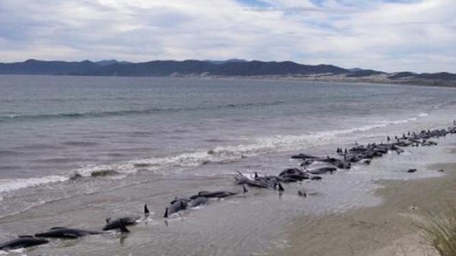 puluhan paus mati terdampar di Selandia Baru