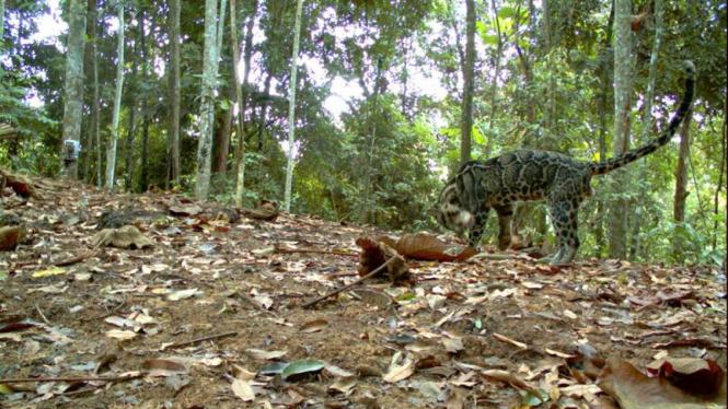Macan Dahan - Neofelis diardi