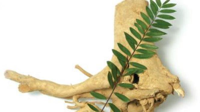 Tanaman Pasak Bumi (Eurycoma longifolia)