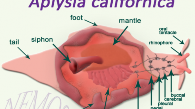 Siput laut (Aplysia Californica)