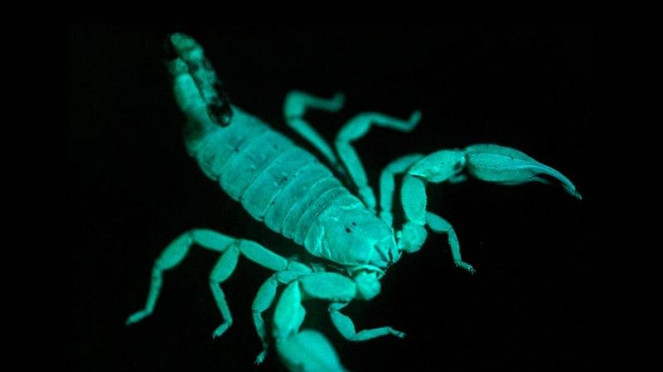 Kalajengking di bawah sinar ultraviolet