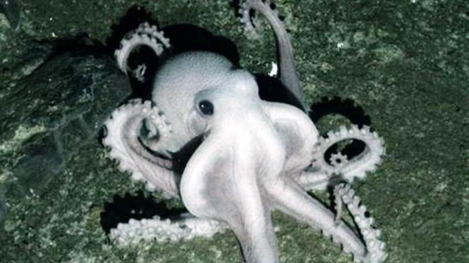 Kepiting pucat Antartika