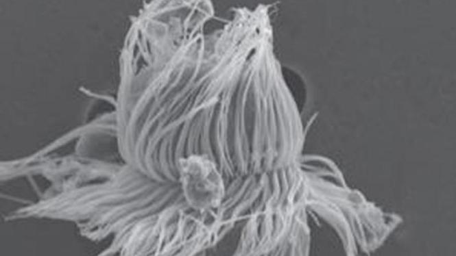 <i>Mesodinium chamaeleon</i>