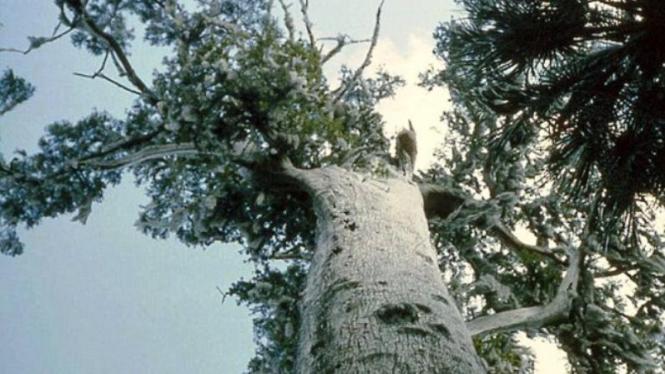 Pohon Senator