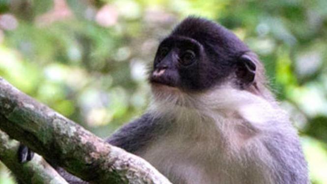 Monyet abu-abu Kalimantan