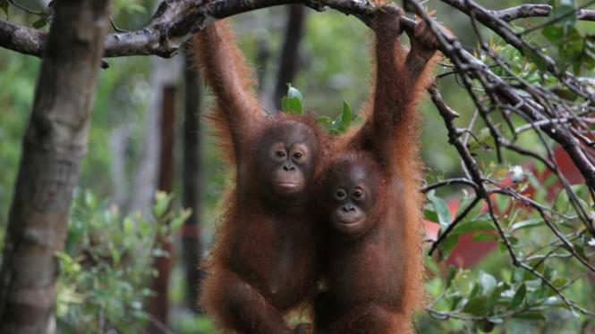 Sekolah Bayi Orangutan